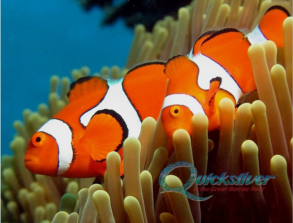 Clownfish couple on Great Barrier Reef