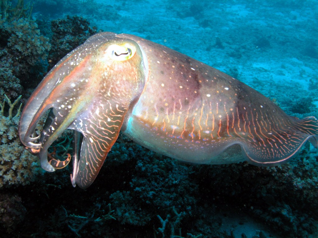 Cuttlefish Great Barrier Reef