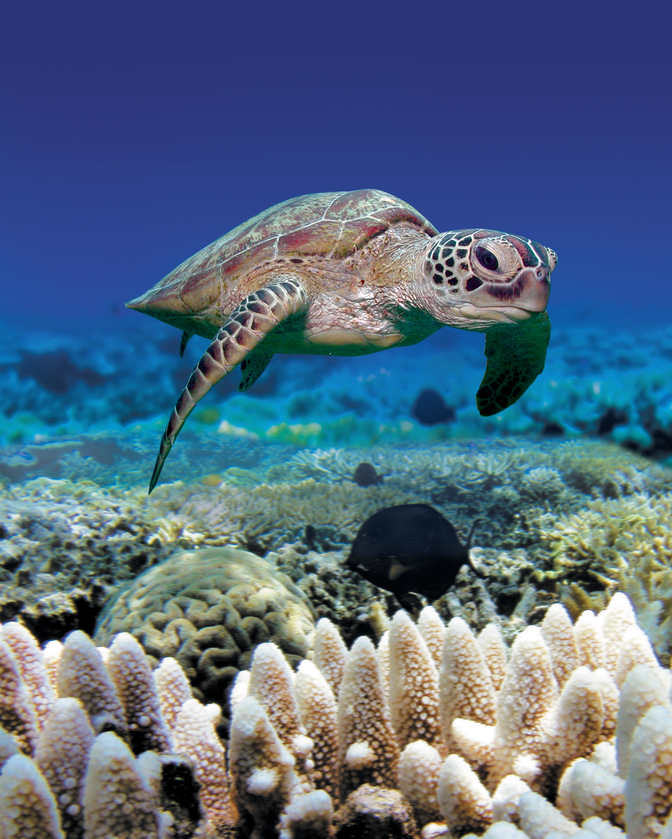 turtles of the great barrier reef reef biosearch