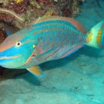 Parrotfish Great Barrier Reef