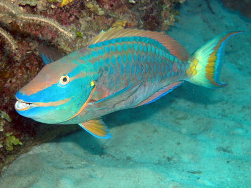 Parrotfish of the Great Barrier Reef | Reef Biosearch