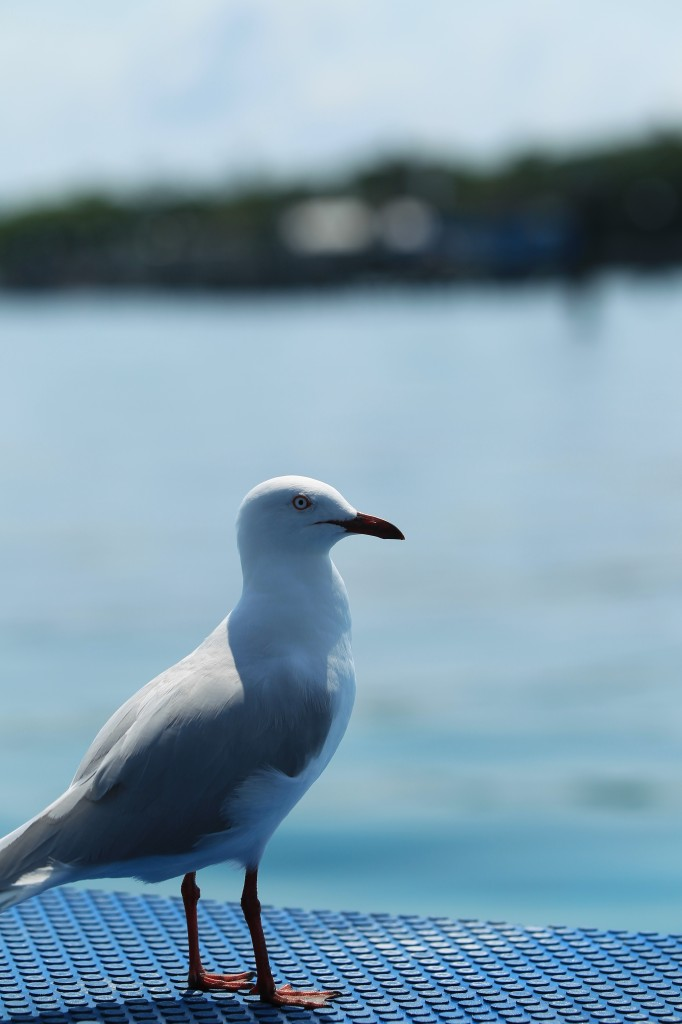 Birds of the Great Barrier Reef