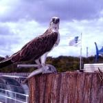 Osprey, Green Island