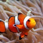 Clownfische knarren mit den Zähnen