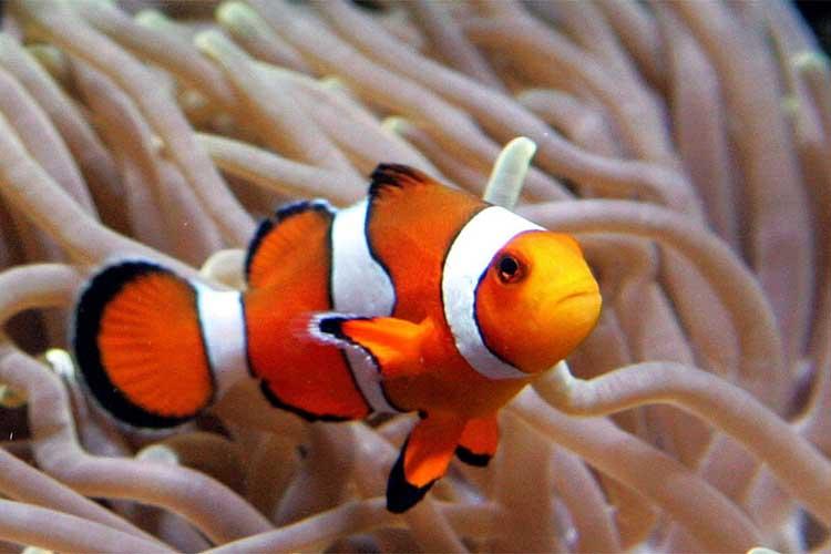 Clown fish finding nemo reef biosearch for Clown fish scientific name