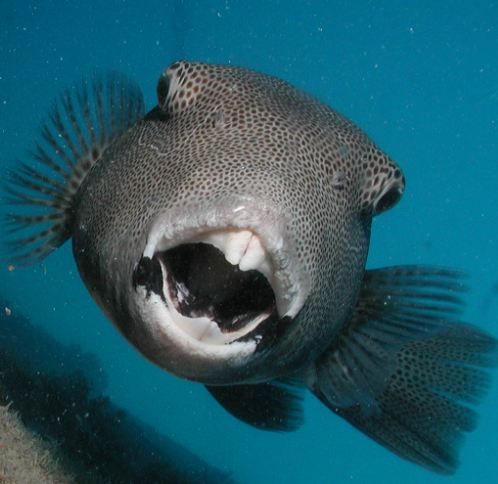 Teeth of the Great Barrier Reef | Reef Biosearch