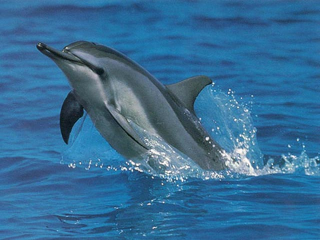 Spinner Dolphin Great Barrier Reef